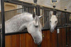 липицански коне