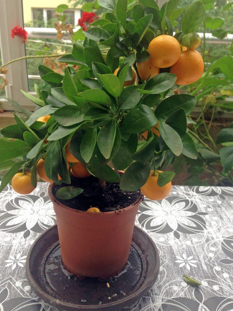 мандариново дърво