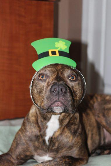 dog-saint-patrick