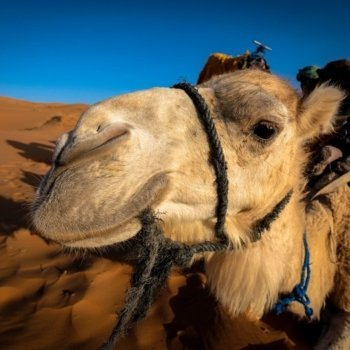 йордания камила