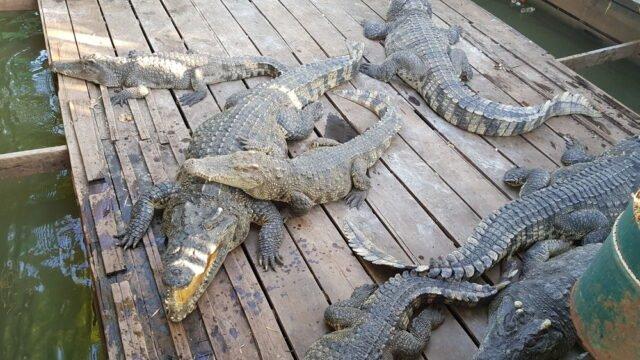 крокодилска ферма