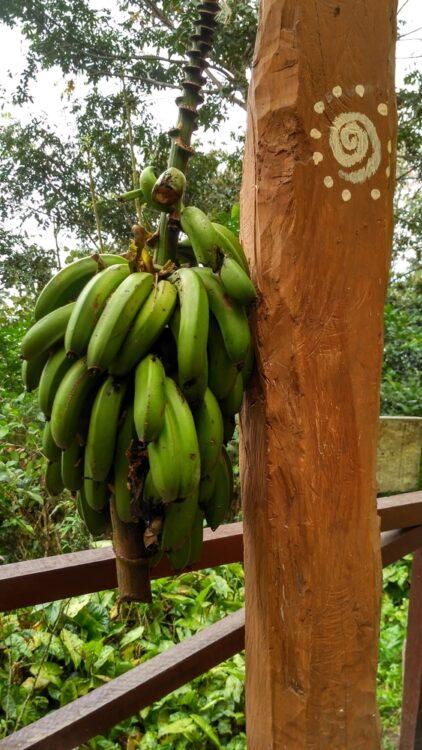 Коройко банани