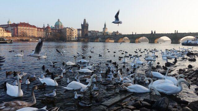 Карлов мост и лебеди