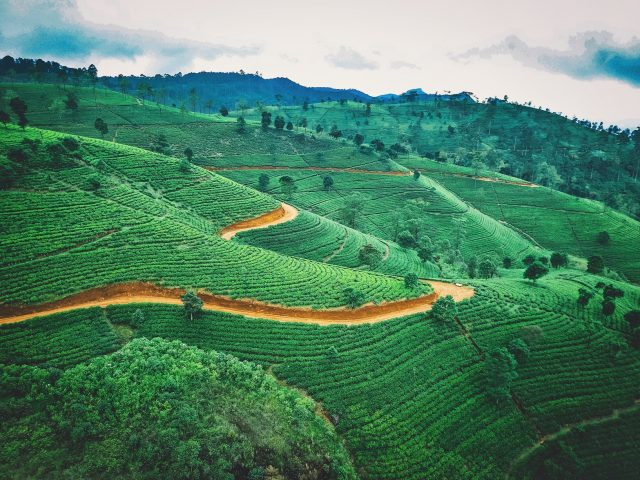 чаени плантации в Шри Ланка