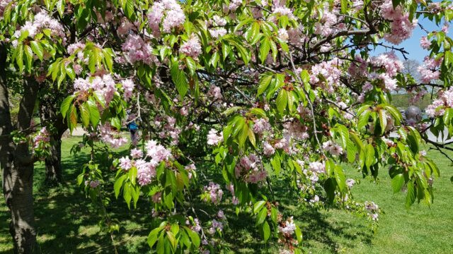 черешово дръвче парк в Букурещ