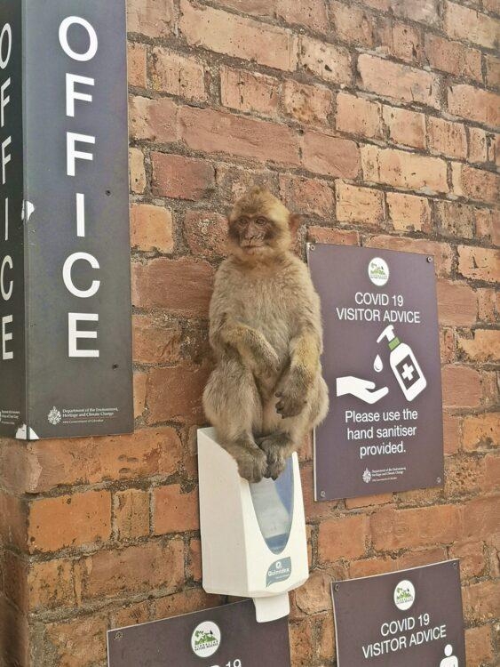 маймуни в Гибралтар